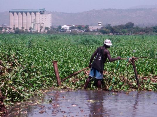 water-hyacinth-kenya