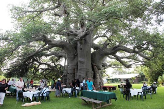 Big-Baobab-bar-South-African-Toursim3