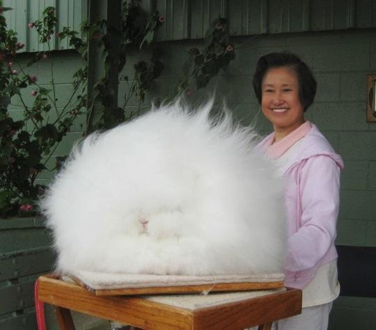 アンゴラ ウサギ