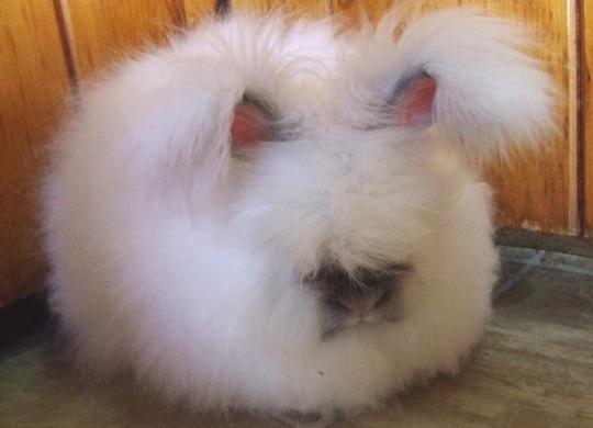 Angora rabbit03