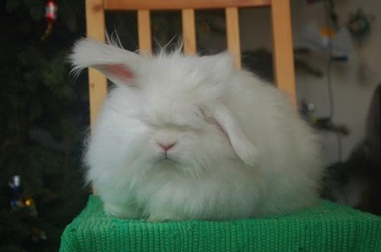 Angora rabbit04
