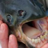 pacu_fish.jpg