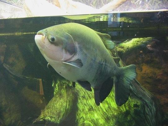 Pacu fish2