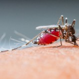 mosquito_3